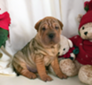 Shar Pei mix puppies - lots of wrinkles!!