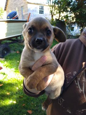 Puppy Dog trainig pheasant asking price: puppy