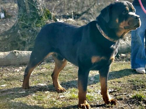 Male German Rottweiler For Stud Thousands of dog lovers and future dog owners visit us daily to find their perfect companion. male german rottweiler for stud