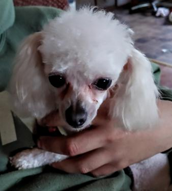 Tiny Toy Poodle Stud What are the best running dogs? tiny toy poodle stud