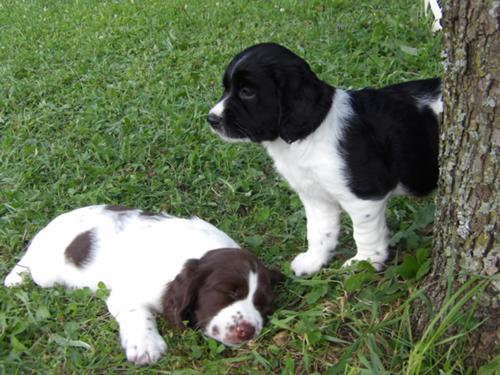 Akc English Springer Spaniel Pups They're always ready to go, they eagerly keep pace, and they never complain about being tired. akc english springer spaniel pups