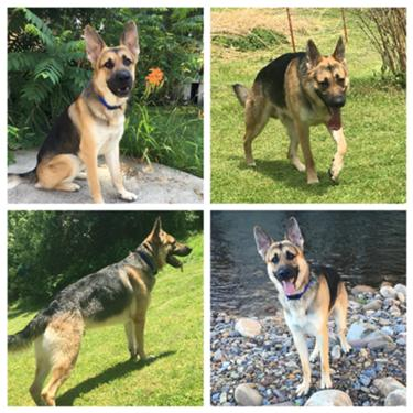 German Shepherd Stud While dogs of all breeds and sizes can train to become. german shepherd stud
