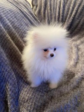 Beautiful Pomeranian Puppies Available All about dogs running with dogs. beautiful pomeranian puppies available