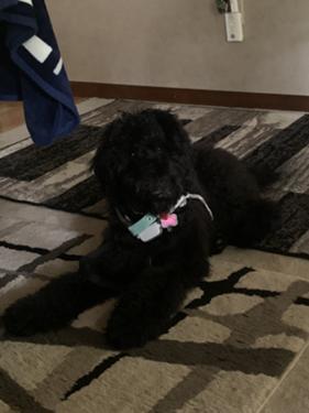 6 Month Old Black Goldendoodle Последние твиты от running dogs (@runningdogslive). 6 month old black goldendoodle