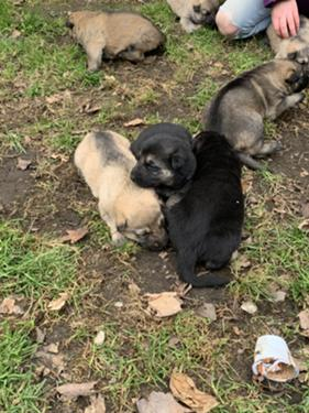 German Shepherd Puppies List free classified ads now pet classifieds for all pets & animals: german shepherd puppies