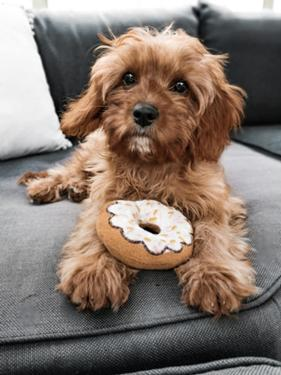 Cavapoo Puppies For Pet Lovers The best gifs are on giphy. cavapoo puppies for pet lovers
