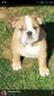 Akc English Bulldog 12 week old female puppy