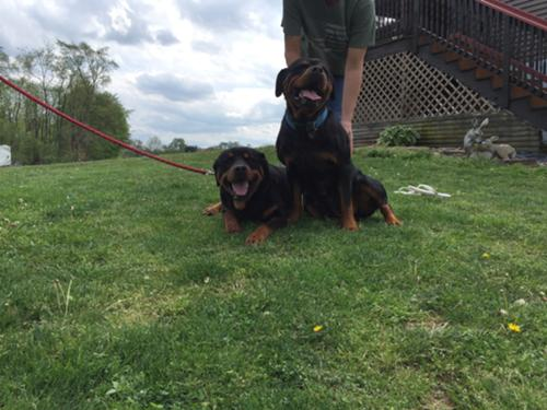 Akc German Rottweiler Puppies All about dogs running with dogs. akc german rottweiler puppies